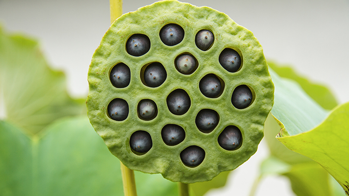 lotus seeds healthy superfood